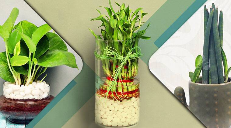 plants, plants to gift, air purifying plants,