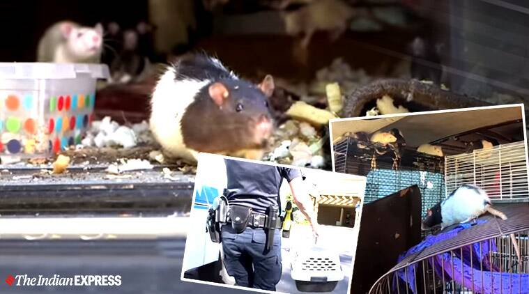 California woman lives with 300 pet rats, Homeless woman lived with 300 rats, California, Trending, Indian Express