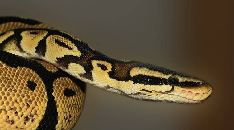snakes, thief steals bag of snakes, robbery turns bag filled with snakes, odd news, viral news, indian express