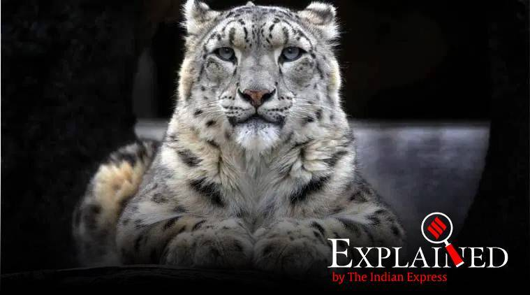 snow leopards, snow leopard population in india, snow leopards population world, snow leopards conservation, Snow Leopard Population Assessment in India