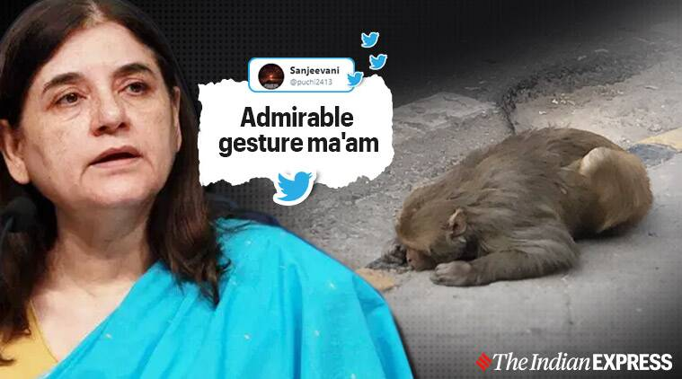 Maneka Sanjay Gandhi, sanjay gandhi animal care centre, Maneka Sanjay helps rescue monkey viral post, twitter reactions, BJP, trending, indian express, indian express news