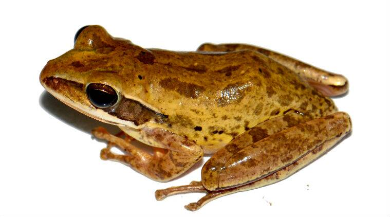 new frog species found in bengal, new frog species found Polypedates bengalensis in west bengal, Brown Blotched Bengal Tree Frog, indian express news