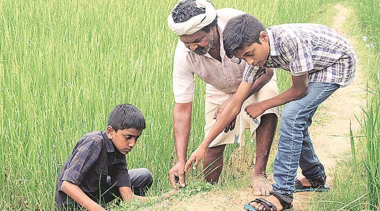 Kerala farmer, kerala rice farmer, kerala news