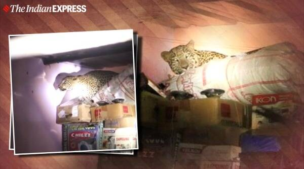 leopard, Leopard House Maharashtra, Maharashtra house leopard, leopard in house viral video, trending, indian express, indian express news