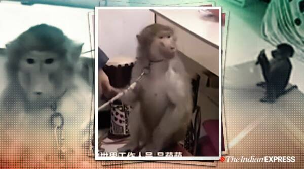 monkey, monkey orders groceries in china, china money, pet money orders treats, trending, indian express, indian express news
