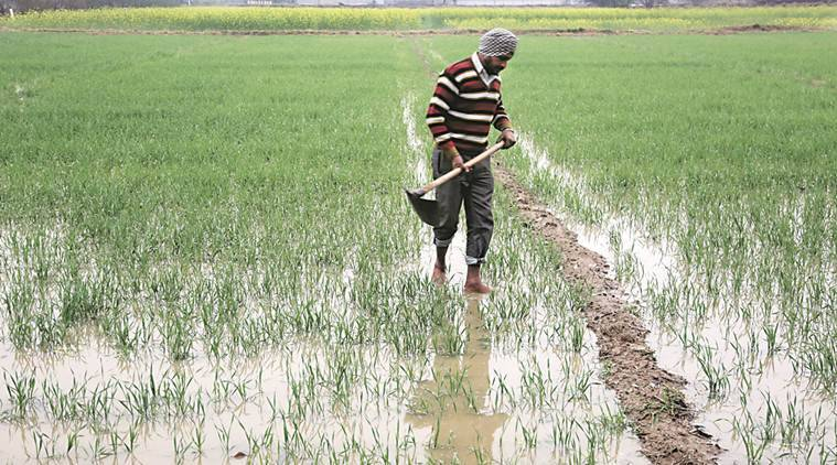 Punjab: Extended monsoon, delayed paddy harvesting affects sowing of wheat