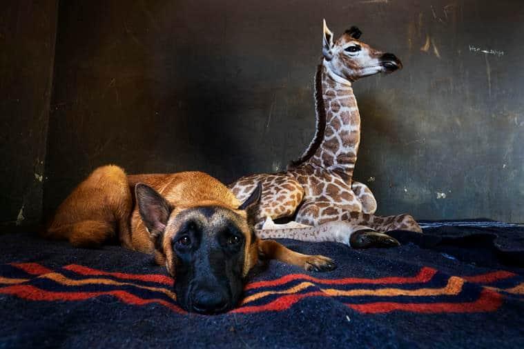 baby giraffe rescued, dog giraffe friendship, orphan giraffe dog friendship, rhino orphanage baby giraffe, odd animal friendship, viral news, indian express