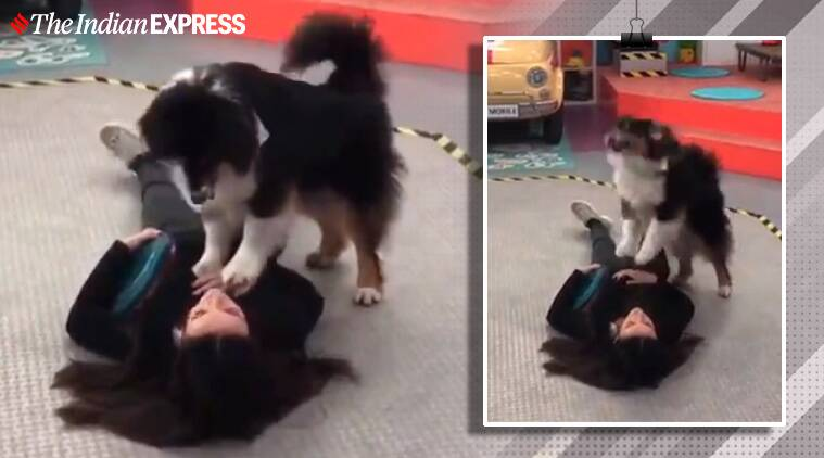 Dogs performing CPR, Dogs mimicking CPR, cardiopulmonary resuscitation, Dog videos, Trending, Indian Express