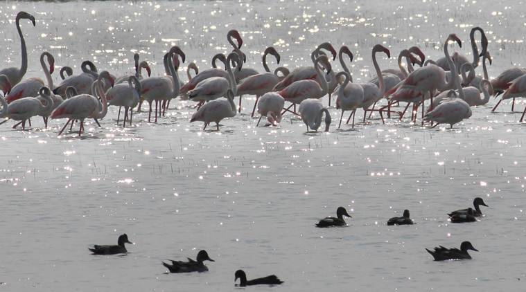 Migratory birds, Migratory birds Gujarat, Gujarat migratory birds, India news, Indian Express