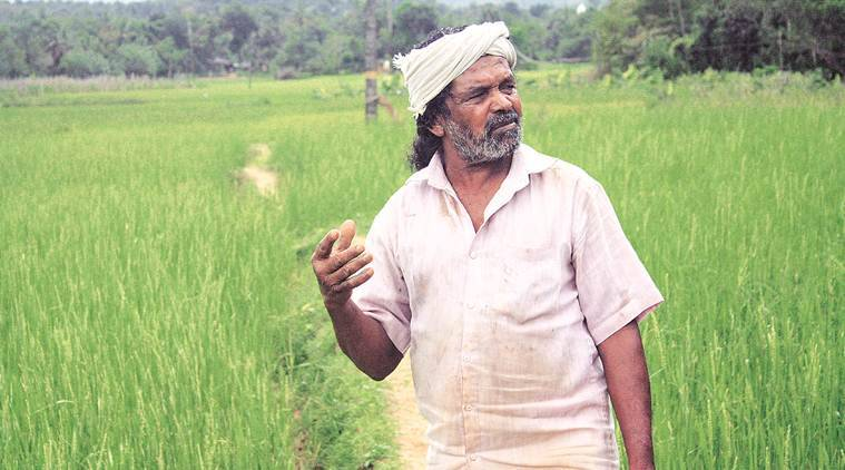 rice farming, kerala rice, kurichiyas, wayanad, Kerala, Kerala farmers, Kerala rice farmer, Kerala tribal farmer, Kerala native rice varieties, Kerala rice varieties