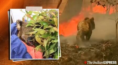 australia bushfire, nsw bushbire, koalas injured nsw bushfire, viral koala nsw bushfire dies, lewis koala dies, brave woman save koala died, viral news indian express
