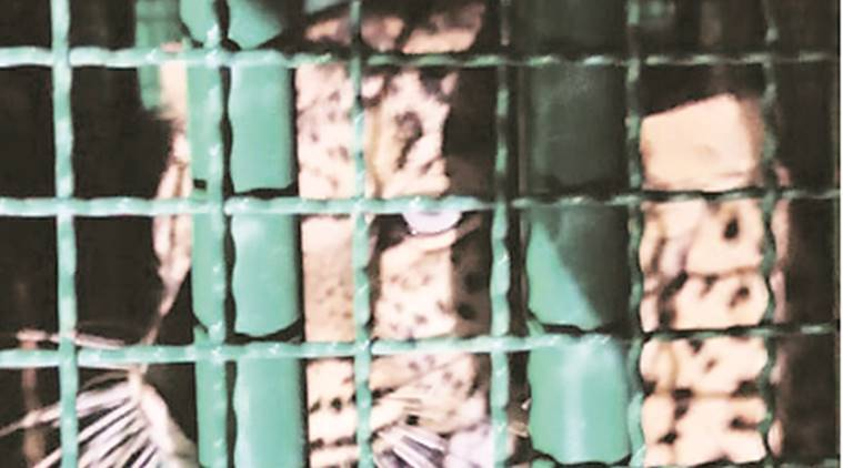 Woman claims to spot big cat near Chandigarh Sector 56