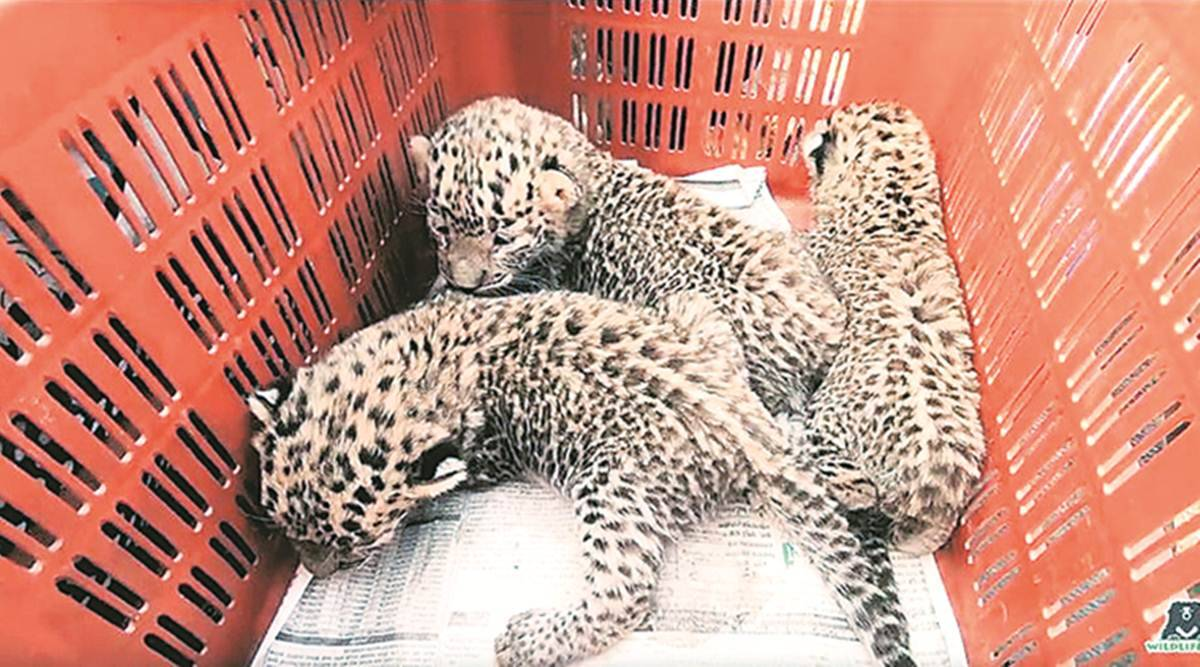 Nagargaon village leopard cubs rescued, leopards maharashtra, maharashtra news, latest news, indian express