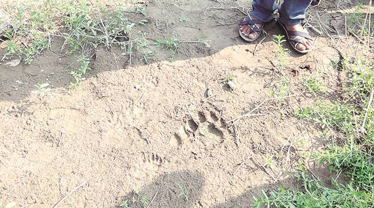 Two Asiatic lions spotted in Gundala-Jas village in Rajkot