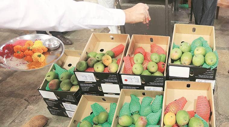 Alphonso mango, Alphonso mangoes, Mumbai alphonso mangoes, Maharashtra alphonso mangoes, India news, Indian Express