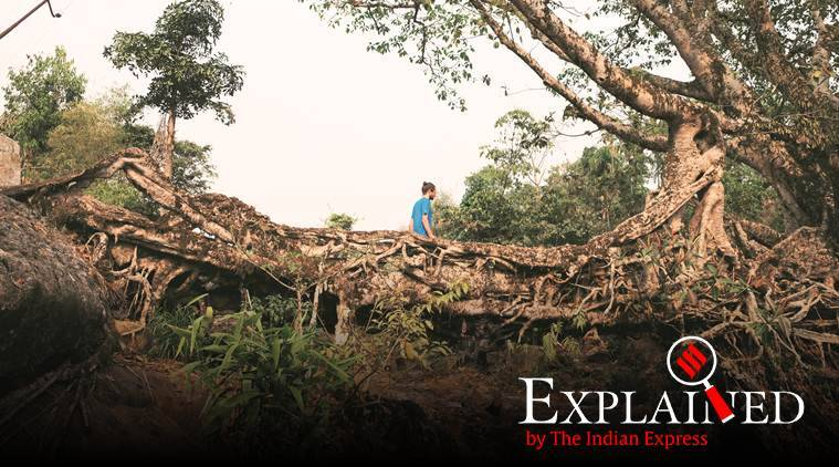 Explained: In Meghalaya living root bridges, study sees global potential. Can it work?