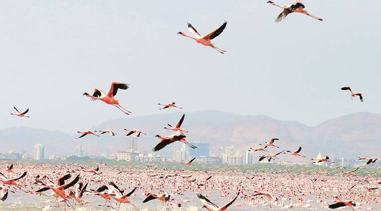 migratory birds deaths, Bombay Natural History Society (BNHS), mumbai news, latest news, indian express