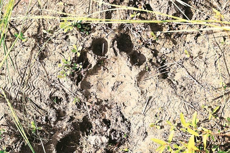 Turning into 'wildlife hub': Tiger sighted in MIHAN