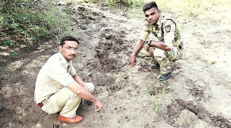 Turning into 'wildlife hub': Tiger sighted in Nagpur's MIHAN area