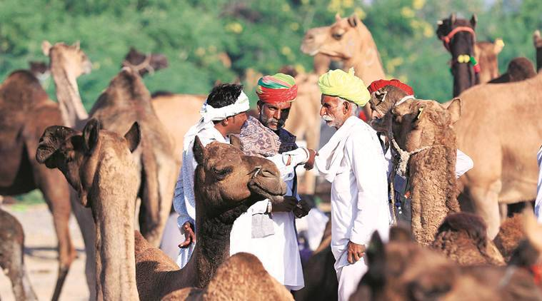 Pushkar Fair, Pushkar Fair rajsthan, Pushkar Fair camels, Cattle sales, Rajasthan, Rajasthan fairs, Pushkar fair camel sales, Rajasthan government,