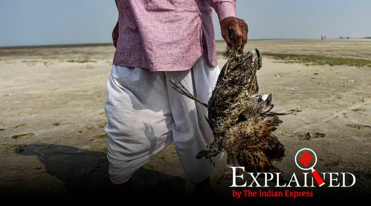 The Mystery of Sambhar Lake: Why are so many birds dying in Rajasthan?