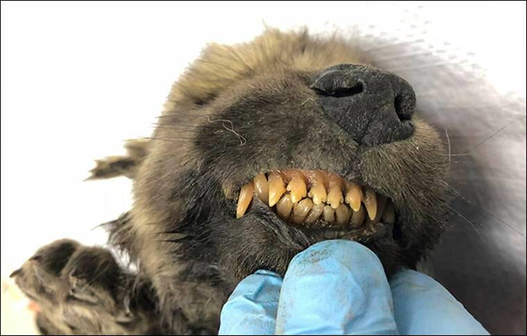 Dog or wolf: Puzzled scientists ask after finding 18-000 year old puppy in Siberia