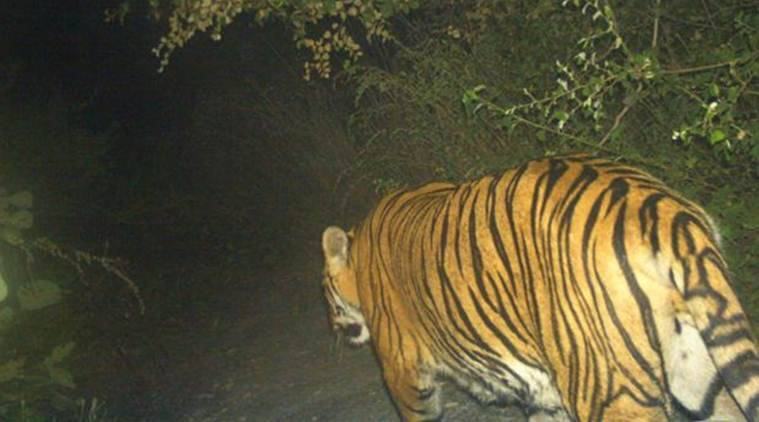 Tiger roaming in MIHAN may be on its way out: Forest officials