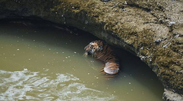 tiger stuck in river in Maharashtra, tiger population in Maharashtra, tiger rescue efforts, chandrapur tigers, indian express, latest news