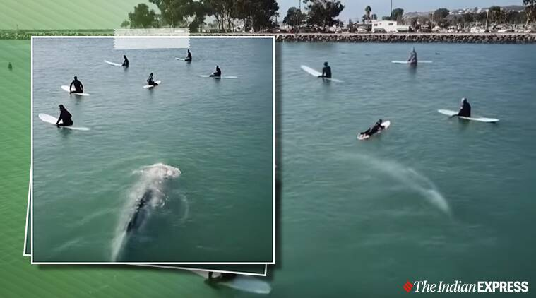 gray whale swimming under surfers Dana Point, California, whale surfing, viral video
