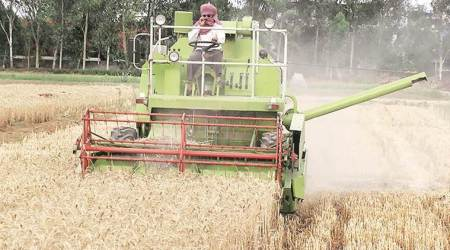 punjab wheat crops, punjab rains farmers, punjab farms rains, wheat crops punjab, punjab farmers, punjab news, latest news, indian express