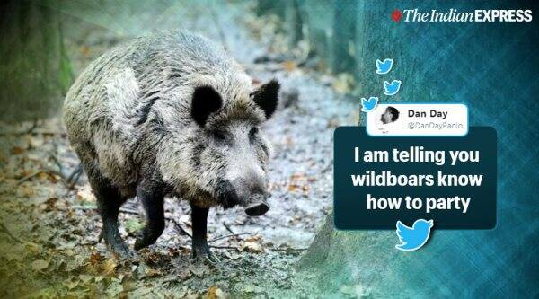 Wild boars sniff out cocaine buried in forest, Tuscany, Italy, Drug bust in Italy, Trending, Indian express news