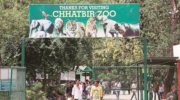 Chhatbir zoo, panchkula news, chandigarh city news, tigers at Chhatbir zoo