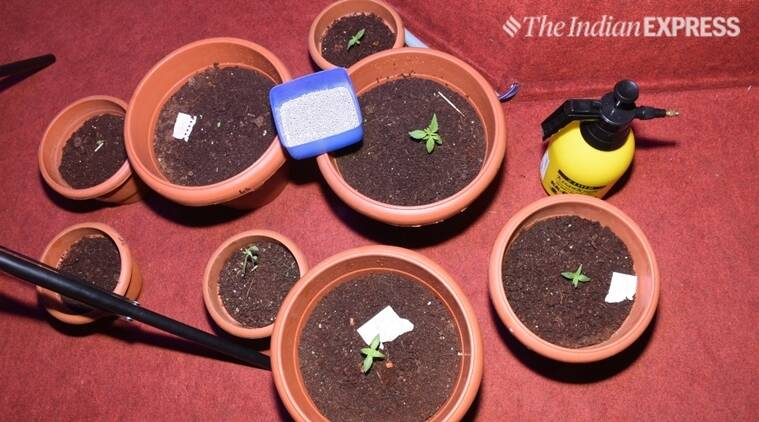 weed in pots