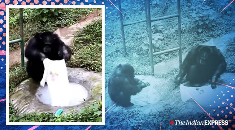 chimpanzee, chimpanzee washes clothes, China zoo chimp wash clothes, viral news, indian express, china news, Trending