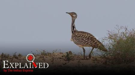 Explained: What is the Houbara bustard?