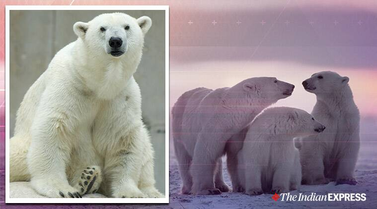 Polar bear invades Russian village, Polar bear migration, Russia, Climate change, Global Warming, Trending, Indian Express news