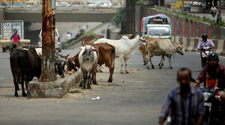 Govt has a use for stray cows: As surrogates for a high-milk breed