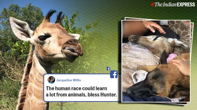 Dog giraffe friendship, Rhino orphanage South Africa, Trending, Indian express