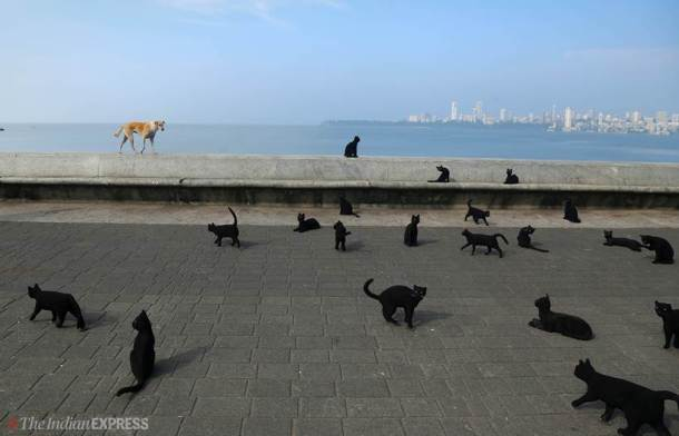 Breaking superstition: When black cats cross the path