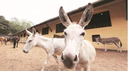 population of donkey in punjab, population of donkeys, punjab news, ludhiana news, indian express news, highest number of donkeys