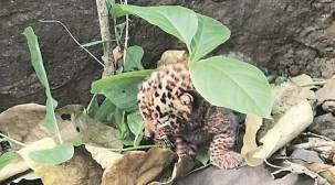 Mumbai: Rescued leopard cub critical, officials postpone search for mother