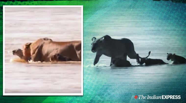 Lioness rescue cub from drowning, Lion videos, Kenya, Masai Mara game reserve, Trending, Indian Express news