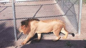 Punjab: Chhatbir zoo now home to two more Asiatic lions