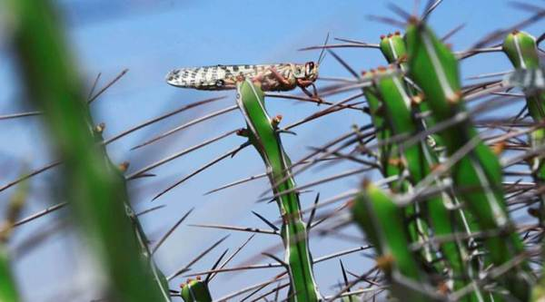 Locust attack in Africa, Locust attack, East africa, east africa agriculture, africa agriculture, Kenya, Uganda, united nations, united nations food and agriculture, global argiculture, world news, indian express news, latest news
