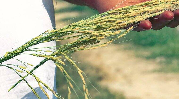 Punjab: Produce per acre up, but total paddy yield down by almost 3% thanks to diversification