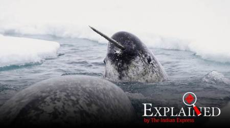 Narwhal tusk: Once 'unicorn horn', now weapon that thwarted terrorist