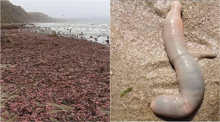 penis fish, spoon worms, penis fish us beach, viral news, odd news, indian express, world news