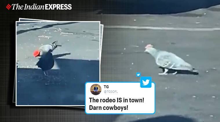 Pigeons with cowboy hats, Pigeons in cowboy hats, Las Vegas, Trending, Viral video, Indian Express news