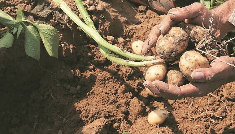 Big cheer for farmers in Punjab: early potato fetches 3 times last year's price