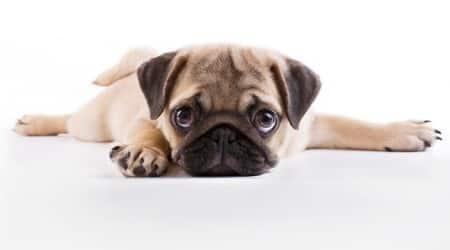 pets, dog breeds, Golden retriever, Labrador,cute dog pictures, pets to keep, dog food, dog care, pet care, pet food, culture, pet fest, beagle, pomerian, labrador, golden retriever, pug, rottweiler, shitzu, international dog breeds, Indian dog breeds, poodle, boxer dog